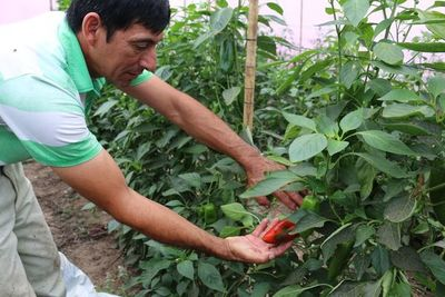Productores realizan primera cosecha de locote en Ñeembucú