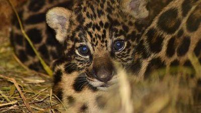 Nacieron bebés pumas y aguara guasu en Yacyretá