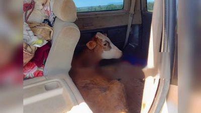 Detenidos por llevar en una furgoneta dos toritos robados