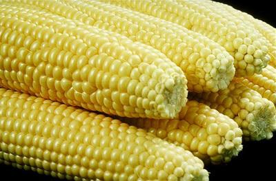 Entregarán semillas de maíz a pequeños agricultores