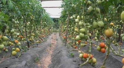Productores de tomate también se vieron afectados por el temporal – Prensa 5