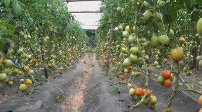 Productores de tomate también se vieron afectados por el temporal