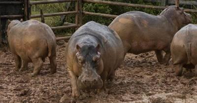 La Nación / Esterilizan 24 hipopótamos en Colombia, legado insólito de Pablo Escobar