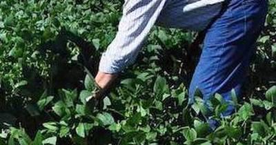 La Nación / Siembra de soja, con buenos resultados