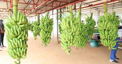 La Nación / Buenos precios impulsan envíos de banana a Argentina