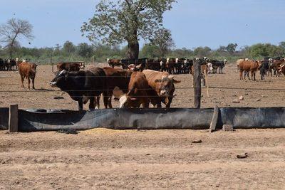 Con menos oferta, el precio del ganado gordo se mantiene en US$ 3,40 a la carne