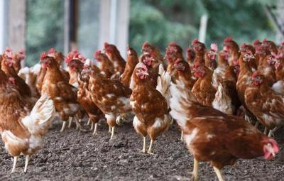 Incremento del contrabando golpea al sector avícola