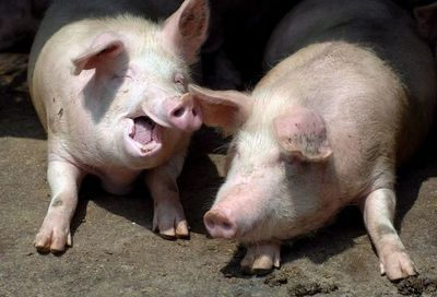 Países de Sudamérica se unen para prevenir ingreso de peste porcina africana