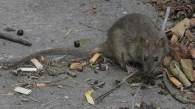 Nueva York enfrenta un brote de una enfermedad transmitida por la orina de rata