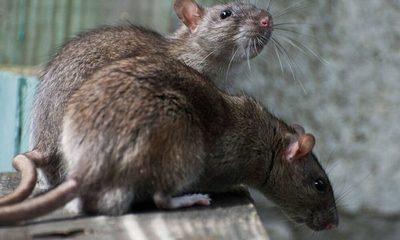Alerta en Nueva York por aumento de casos de una enfermedad transmitida por ratas