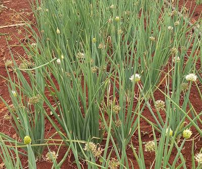 Productores denuncian supuesta falsificación de semillas hortícolas