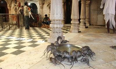 El templo donde se rezan a ratas