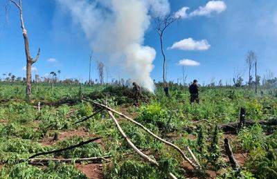 Labor fiscal-policial concluye con destrucción de ocho hectáreas y cuatro parcelas de marihuana