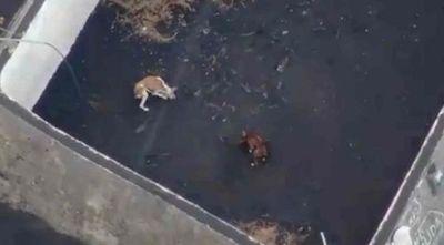 Planean inédito rescate con drones de perros atrapados por volcán de isla española